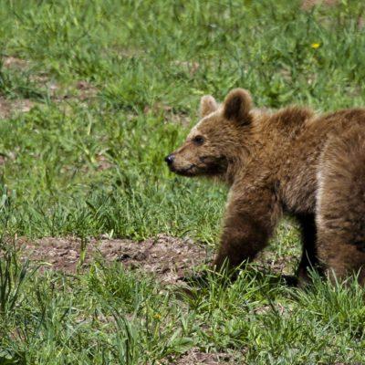 À la recherche de l'ours brun dans le Parc naturel de l'Alt Pirineu
